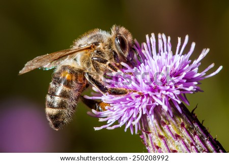 Bee on a Thistle flower - stock photo