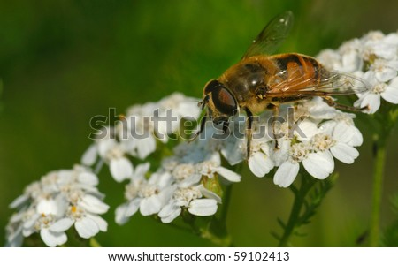 bee on a white flower