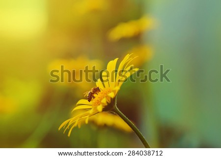 Bee on a yellow daisy in sunset background. - stock photo