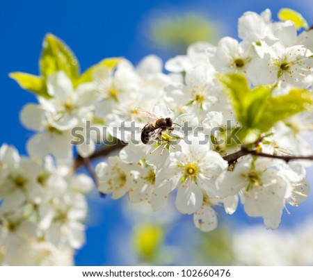 Bee on apple blossom; closeup of a beautiful spring apple tree against blue sky, shallow field