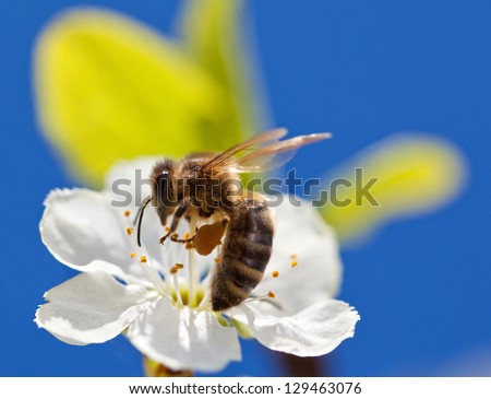 Bee on apple blossom; macro shot of a be on spring apple blossom against blue sky, shallow field - stock photo