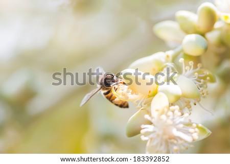 Bee on Areca catechu flower - stock photo