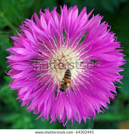 Bee on big violet flower. Composition of nature. - stock photo