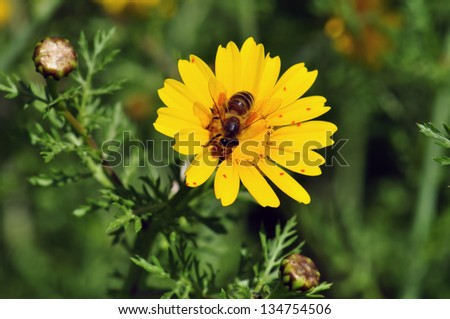 Bee on blooming wildflower. Spring nature background. - stock photo