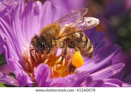 Bee on blue chrysanthemum with pollen on tarsus