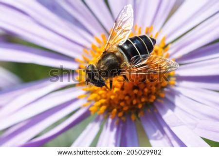 bee on blue daisy