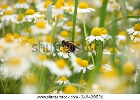 bee on chamomile flower spring season - stock photo