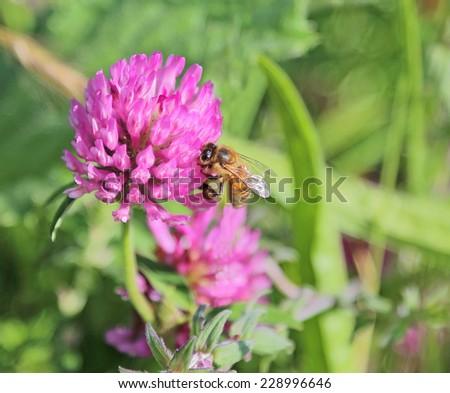 bee on clover flower - stock photo