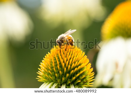 bee on coneflower (echinacea)