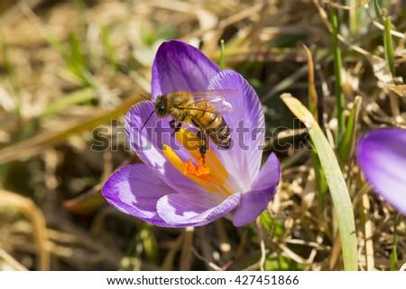 Bee on crocus flower - stock photo