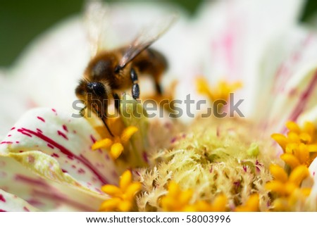 Bee on flower collects nectar, closeup macro shot. - stock photo