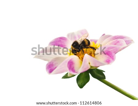 bee on flower isolated on white background - stock photo
