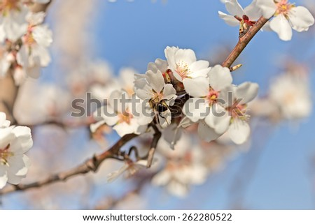 Bee on flower of fruit tree - stock photo