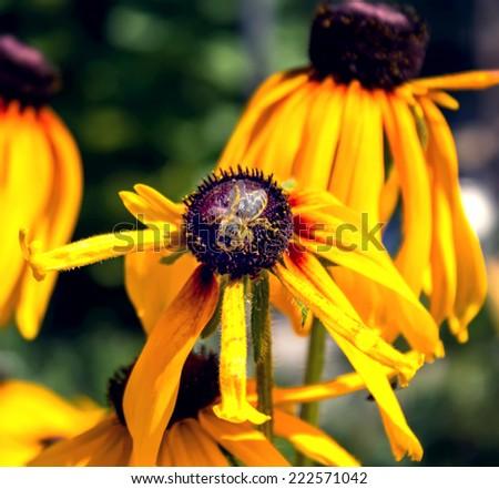 Bee on flower rudbeckia - stock photo