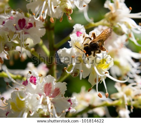 bee on flowering chestnut - stock photo