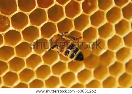 Bee on honeycomb eating honey - stock photo