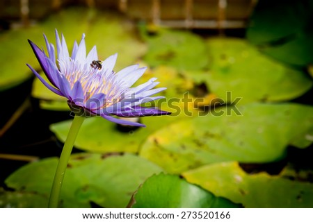 Bee on lotus flower,bee swarm water lily, lotus in nature,bee on lavender lily