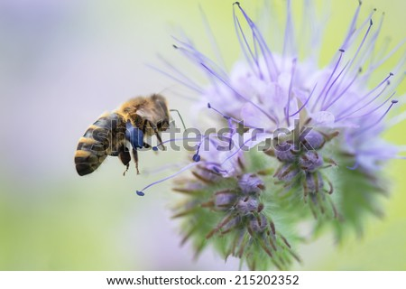 Bee on Phacelia Tanacetifolia Flower  - stock photo
