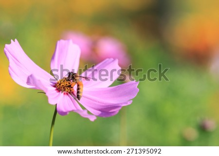 Bee On pink cosmos vivid flower, macro photography