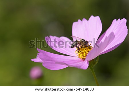 bee on pink flower collecting nectar - stock photo