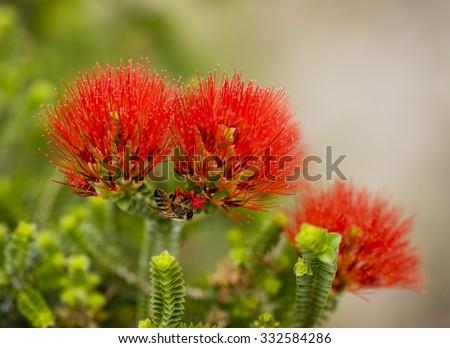 Bee on red Australian wild flowers - stock photo