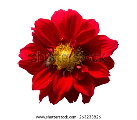 Bee on red dahlia flower isolated on white background. - stock photo