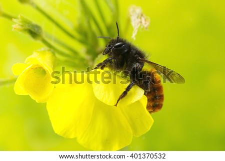 Bee on shamrock flower