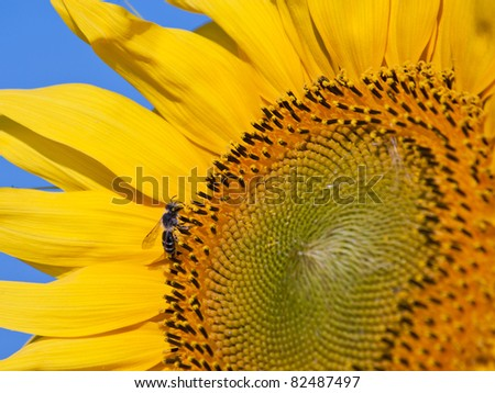 Bee on Sunflower - stock photo