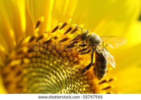 Bee on sunflower. Close-up view - stock photo