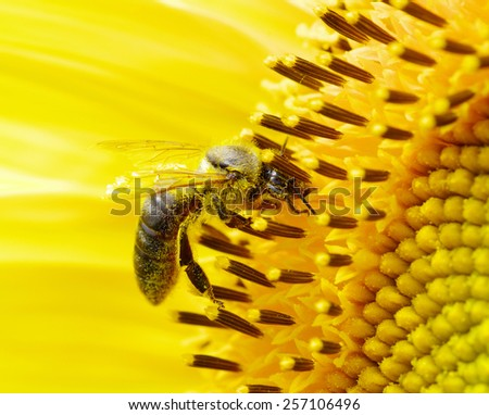bee on the flower in the  sunflower - stock photo