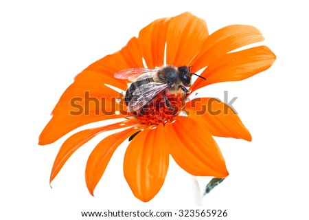 bee on the flower on white background