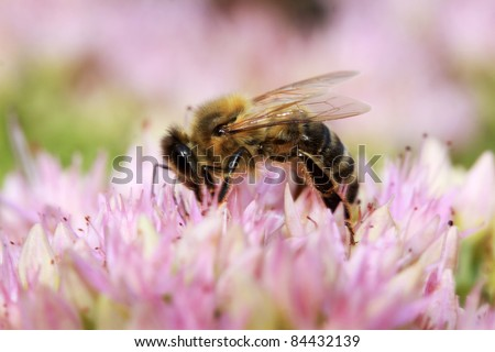 Bee on the pink Flower in the green Nature - stock photo