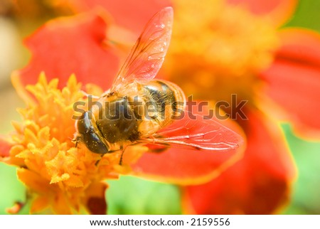 bee on the red flower - stock photo