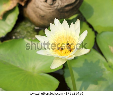 Bee on the water lily flower - stock photo