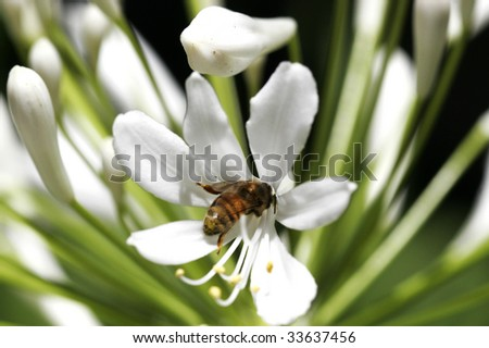 Bee on the white  flower - stock photo