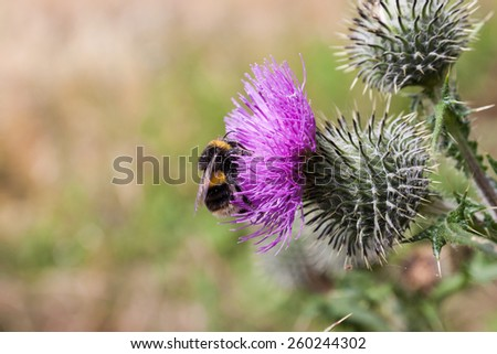 Bee on Thistle Flower - stock photo