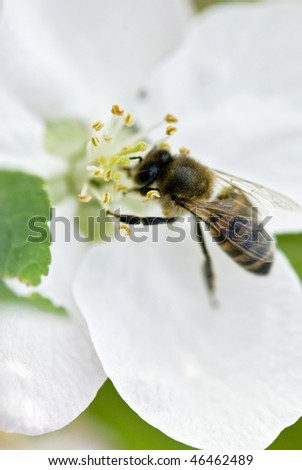 Bee on white flower - stock photo