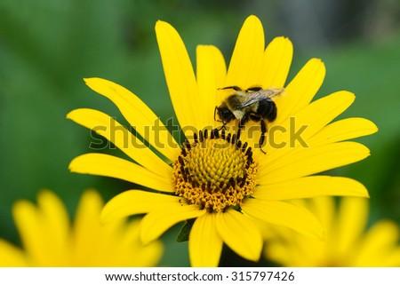 bee on yellow daisy shallow DOF - stock photo