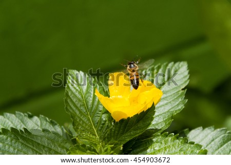 Bee on Yellow Sage rose flower with dew in guatemala