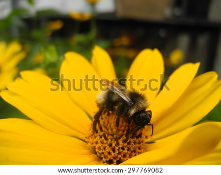 bee or bumblebee and yellow flower