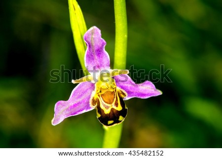 bee orchid on a meadow - stock photo