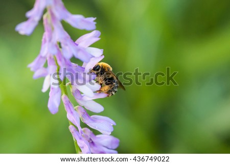 Bee polinated violet purple wild flowers on green blurred nature background, macro - stock photo
