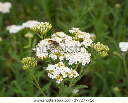 Bee pollinates white wildflowers. Fields and meadows - stock photo