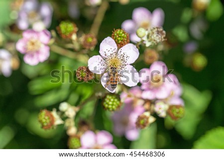 Bee pollinating a BlackBerry flower, close up