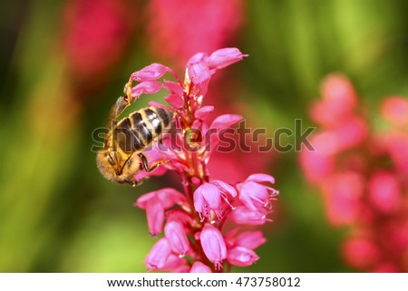 Bee pollinating a persicaria flower