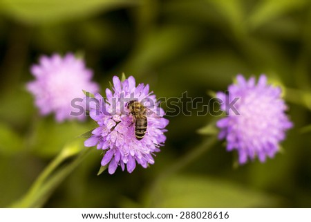 bee pollinating a purple flower - stock photo