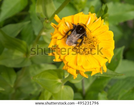 Bee pollinating a yellow Dahlia flower