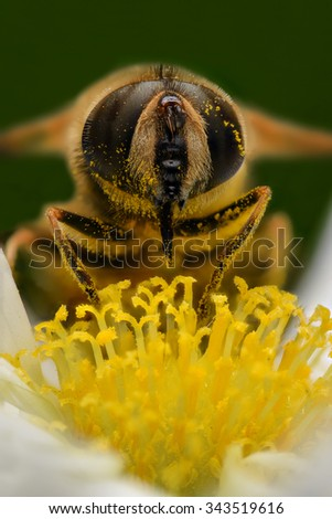 Bee pollinating, extreme close up, front view