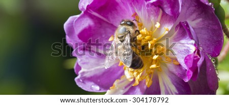 bee pollinating wild pink rose in bloom