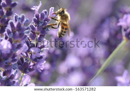 bee searching for nectar - stock photo